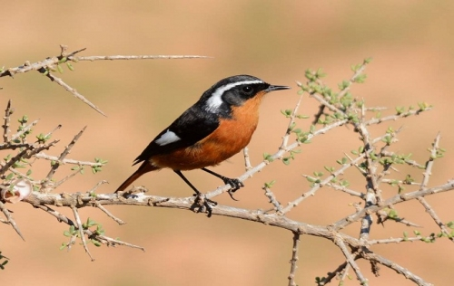 Moussiers Redstart was photographed near Riad Dades Birds in Morocco